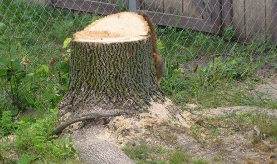 Baumschutz in Halle – nur eine Fiktion?